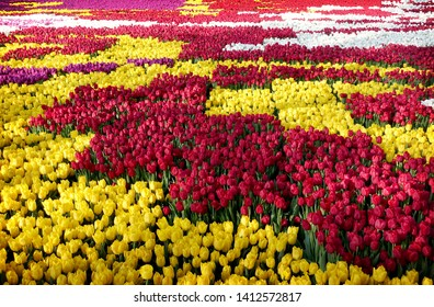 many colorful tulips on the field