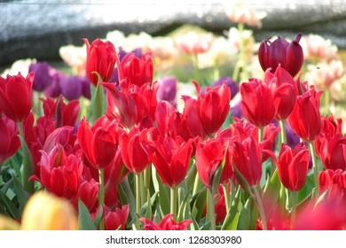 Many colorful tulips,Red tulips, Yellow tulips, White tulips,