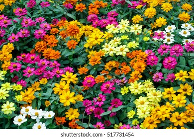 Many colorful zinnias bloom in the garden,the ornamental plant.