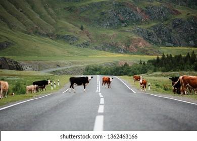 Many cows crossing rural road.