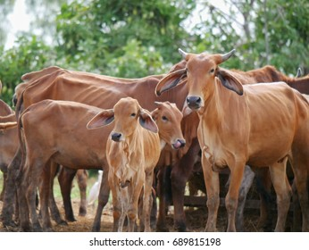 Many cows in a farm