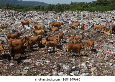 Many cows are feeding in the garbage.