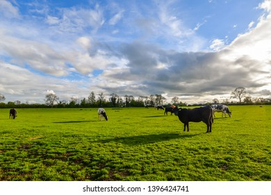 Many cows in a field in spring - Northamptonshire, UK