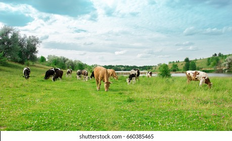 many cows on pasture