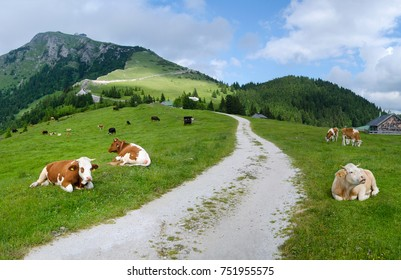 Many cows on pasture, Austria, Schafberg
