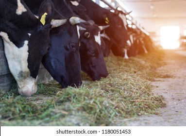 Many cows stand in the barn and eat food, the sun is shining through the doors, kine