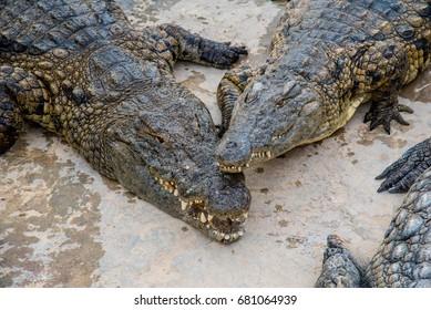 Many crocodiles in a farm in Tunisia