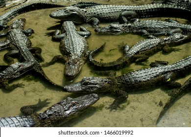 Many Crocodiles are resting in a water in a hot day closeup background. Wild animals. Crocodiles and alligators. Tropics.
