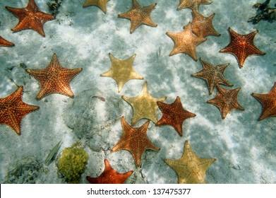 Many Cushion starfish underwater on sandy ocean floor, Atlantic, Bahamas islands