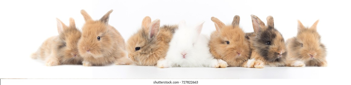 Many cute and colorful of 7 brown white fluffy baby rabbits 1 month old on white background as panorama image.