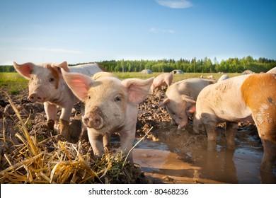 Many cute pigs on a pigfarm