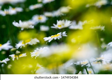 many daisies with yellow blurred sunspots in the foreground