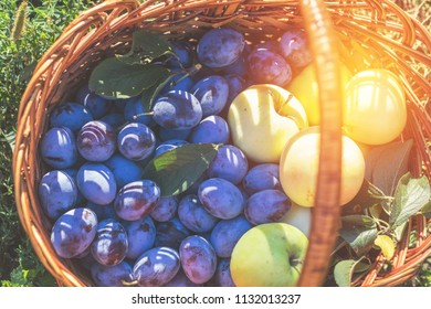 Many delicious fresh juicy colorful summer plums and apples in wicker basket on green grass. Close up, shallow depth of the field. Healthy eating concept background.
