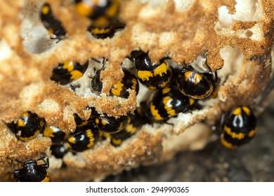 Many Diaperis boleti feeding on polypore