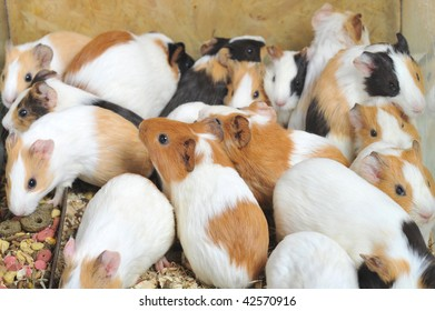 Many different guinea pigs sit