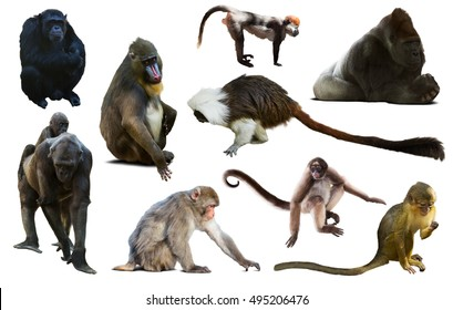 many different monkeys and other primates isolated on white background