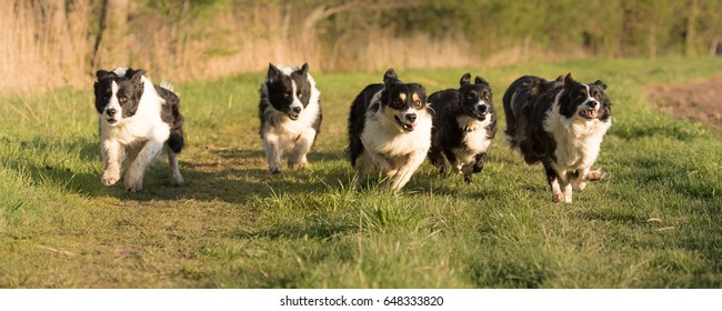 Many dog racing over a meadow - six border collies