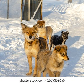 Many dogs lie in the snow in winter. Dog with puppies. Pack of dogs in winter.