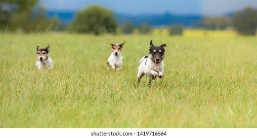 Many dogs run and play fast in a meadow - a cute pack of Jack Russell Terriers