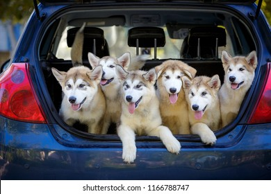 Many dogs are sitting in the trunk of the car. Puppies of the Alaskan Malamute. Transportation of animals. Breeder takes the puppies to the veterinary clinic for vaccination.