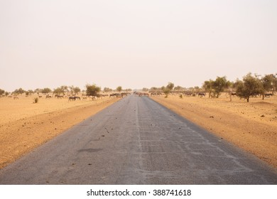 Many donkeys, crossing the road in Mauritania