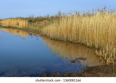 Many dry and yellowed reed or Phragmites australis plants with their seed heads reflected in the mirror smooth water surface of a creek in the Dutch National Park Biesbosch, North Brabant.