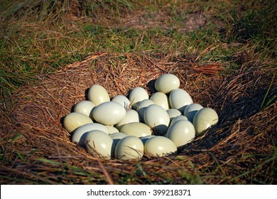 Many eggs in the ground nest of Greater Rhea, Rhea americana, Pantanal, Brazil, The nests are thus collectively used by several females and can contain as many as 80 eggs.