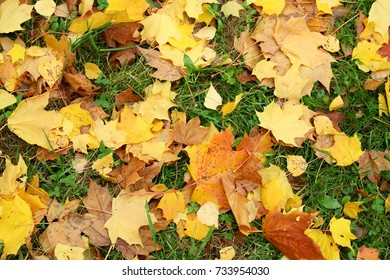 Many fallen maple leaves lie on grass, late autumn season. Dry brown and lush yellow sheets mixed with small birch leaves