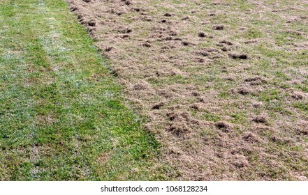 Many felts on green grass after aeration of the lawn
