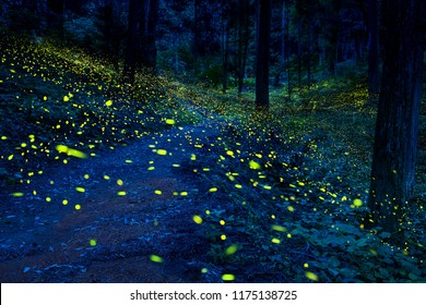 Many fireflies flying in the forest.(It's like a light falls)