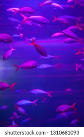 Many fish in the pink aquarium