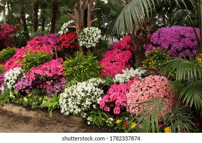 many flowering azalea bushes in different shades of pink, lilac, purple and white in the greenhouse of the botanical garden, very beautiful, spring mood