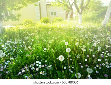 Many flowering dandelions on the lawn near the cottage in the summer in the sun. A garden plot in the colors of a dandelion. Background for summer holidays outside the city .