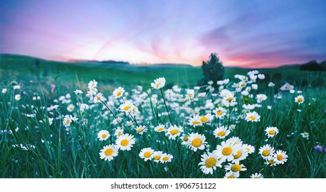 Many flowers meadow daisies in field in nature in evening at sunset. Natural landscape with beautiful sunset sky in blue pink and purple tones with soft selective focus. - Shutterstock ID 1906751122