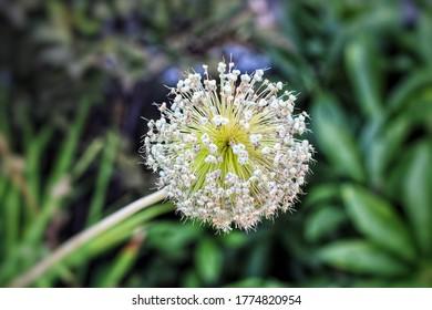 Many Flowers of North Carolina