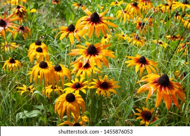 Many flowers of Rudbeckia with raindrops. Wet blooming flowers of yellow and orange rudbeckia (black-eyed susan) on a flower garden in rainy weather. Soft floral background, selective focus.
