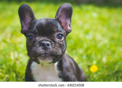 Many Frenchies are friendly with everyone, while others are politely reserved. French Bulldogs will bark to announce visitors, but are otherwise quiet dogs. The French Bulldog background. Copy space