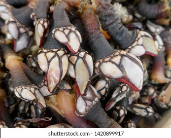 Many fresh barnacles, goose neck barnacles, percebes  (pedunculata) for sale at a fish market in Portugal. Barnacles are known as Percebes in Spain and Portugal and are considered delicious seafood
