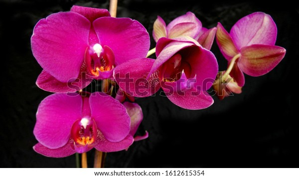 Many fresh pink orchids in bloom against a black background