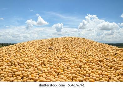 Many freshly harvested soy beans. Soya with a blue sky on background. Rural landscape.