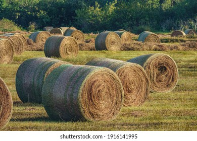 Many freshly rolled bales of hay on green grassland late on a sunny afternoon in west central Florida, USA (foreground focus), for harvest and seasonal motifs