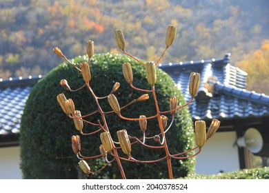 """A many fruits of """"gold-banded lily"""" (Lilium auratum)"""