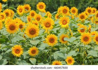 Many full blooming sunflowers (Helianthus) in the field.