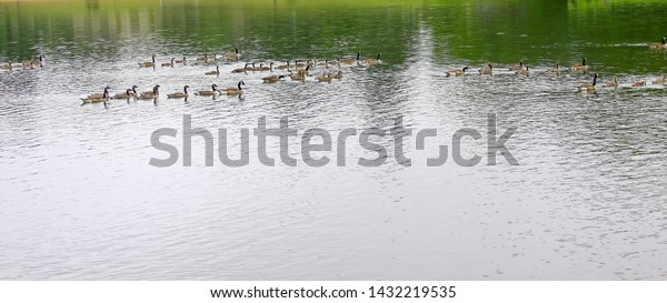 Many geese and goslings on a calm pond early morning. Peaceful with copy space, reflections.