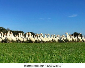 Many geese walking in field of green grass with trees and with a blue sky. Geese on a farm being reared for Christmas food.