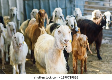Many goats in animal pen. ?urious goat herd to look at the camera.