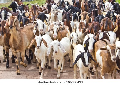 Many goats on the road.