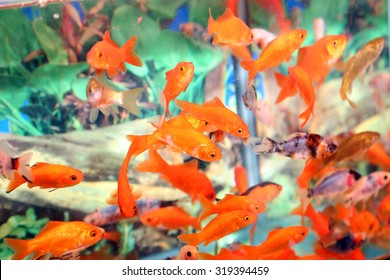many goldfish in an aquarium for sale in the pet store