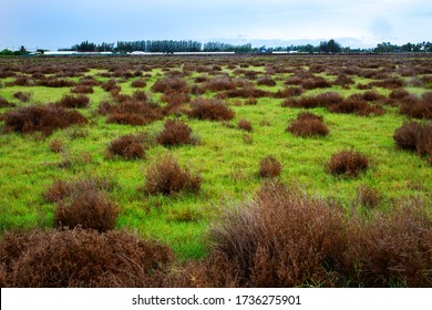 Many grass or weeds grow in empty land broadly that rural.