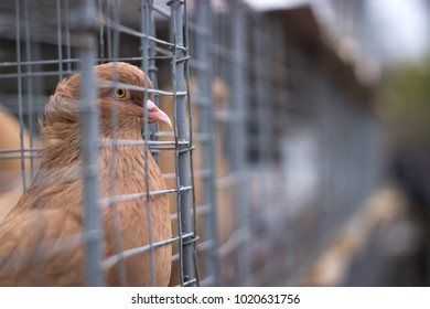many gray doves in a tight cage autside